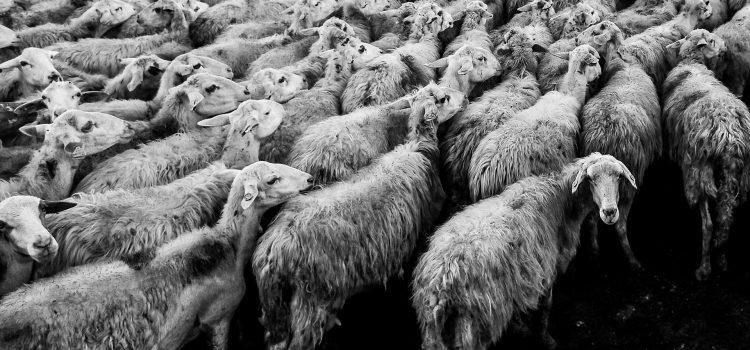 Sheeps Video